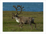 Alaskan Caribou Giclee Print by Charles Glover