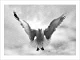 Beach Seagull Landing Giclee Print by Stephen Lebovits
