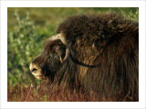 Musk Ox Bull Giclee Print by Charles Glover
