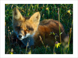 Fox in Alaska Spring Flowers Giclee Print by Charles Glover