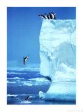 Penguins Diving Off an Iceberg Posters by Steve Bloom