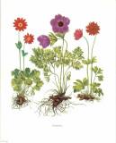 Anemone Prints
