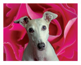 Bailey Rose Photographic Print by David Beisinger