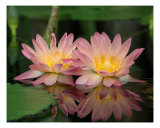 Double Water Lilies Photographic Print by Bernadette Mangione