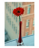 Gerbera Photographic Print by Justin Bryant