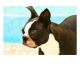Boston Terrier Seaside Photographic Print by Patti Meador