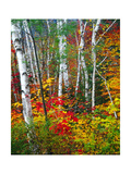 White Barks And Colorful Leaves, New Hampshire Photographic Print by George Oze