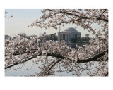 Cherry Blossom Peak Bloom At Tida Basin Photographic Print by William Luo
