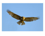 Red-Tailed Hawk II Photographic Print by Mundy Hackett