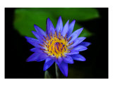 Blue Water Lily Photographic Print by Matt Claiborne