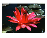 Stunning Red Water Lily Photographic Print by Richard Bejarano