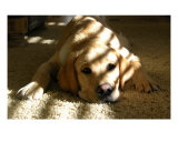 Yellow Lab Photographic Print by Michelle McGowen