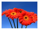 Gerbera Daisy Cluster Photographic Print by Rae Anne Lawrason