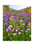 Autumn Wildflowers, White Mountains, New Hampshire Photographic Print by George Oze