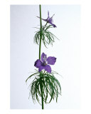 Larkspur Ladder Photographic Print by Rebecca Erol