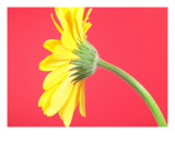 Yellow Gerbera Daisy Solitary Photographic Print by Sam Lee