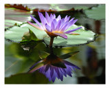 Purple Water Lilies Photographic Print by Bernadette Mangione