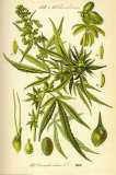Cannibis Sativa Julisteet