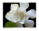Gardenia 3 Photographic Print by Jamie Marsh