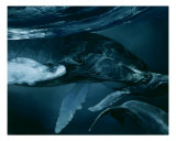 Humpback Whale Series I: V Giclee Print by S. Heather Theurer