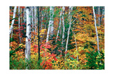 Birch Trees And Foliage, New Hampshire Photographic Print by George Oze