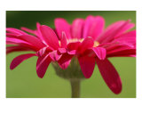 Daisy Red Photographic Print by Carol Lynch