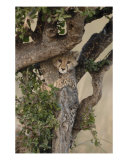 Cheetah Cub Climbing Photographic Print by Mark Levy