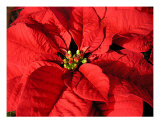 Red Poinsettia Close Up Photographic Print by Lucyna A. M. Green