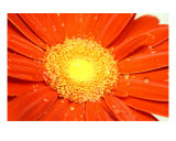 Orange Wet Daisy Photographic Print by Allyson Ricketts