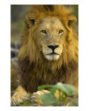 Lion Photographic Print by Mark Levy
