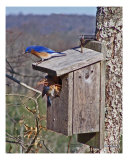 Bluebirds Of Gales Ferry, CT Photographic Print by Patrick Maloney