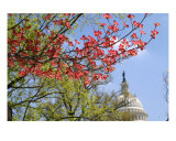 Red Dogwood And Us Capitol Photographic Print by William Luo