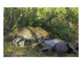 Leopard With Carcass Photographic Print by Mark Levy