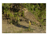 Spotted Thick-Knee Papier Photo par Mark Levy