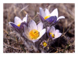 Manitoba Crocus Photographic Print by Ron Kroeker