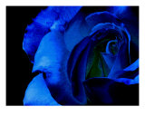 Blue Rose On Black Background Photographic Print by Sally Stoneking
