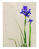 Iris Photographic Print by Rosemary Scott