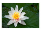 Water Lilly Photographic Print by Scott Schofield