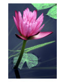 Pink Lily Photographic Print by Rachel Cain
