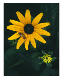 Black Eyed Susan With Bug Photographic Print by Rachel Cain
