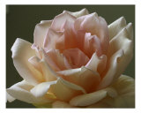 Rose 112 Photographic Print by Scott Kuehn