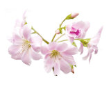 Cherry Blossom Photographic Print by Ron Evans