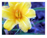 Yellow Bud Photographic Print by D. Williford