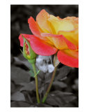 Roses Photographic Print by Scott Schofield