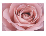 Pink Rose Photographic Print by Scott Schofield