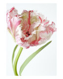 Single Parrott Tulip Photographic Print by Ron Evans