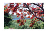 Flamboyan Tree On Culebra, Puerto Rico Photographic Print by George Oze