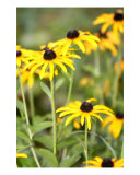 Chorus Of Black-Eyed Susans Photographic Print by Nadine Rippelmeyer