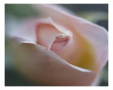 Rose 103 Photographic Print by Scott Kuehn