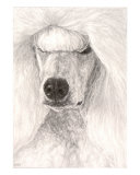 White Show Poodle Giclee Print by Evelyn Morris Hecht